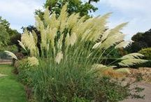 Great Garden Grasses / A selection of garden worthy grasses, large and small.