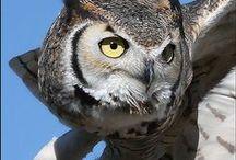 Búhos & Lechuzas (Owls)