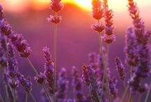 """I Love Lavender / """"There's flowers for you; Hot lavender, mints, savory, marjoram; The marigold, that goes to bed wi' the sun, And with him rises weeping; thes are flower Of middle summer, and I thek they are given To men of middle age."""" William Shakespeare"""
