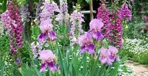 Iris in the Garden / Great ideas for including irises in your garden