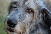 """Irish Wolfhounds and Border Collies  / My mom isn't that sure about me getting a Border Collie, maybe another dog would be better. I told her it was either a Border Collie or an Irish Wolfhound. She didn't know what they looked like so I showed her a picture and she was like """"yeah I think a Border Collie would be better"""" but my dad was like """"now that's a dog"""""""