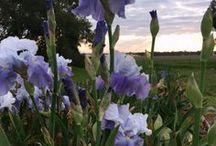 Irises at Wargam