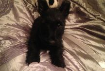 Scottish Terrier / Dogs
