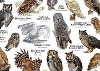 Owls / Owls are birds from the order Strigiformes, which includes about 200 species of mostly solitary and nocturnal birds of prey typified by an upright stance, a large, broad head, binocular vision, binaural hearing, sharp talons, and feathers adapted for silent flight. Exceptions include the diurnal northern hawk-owl and the gregarious burrowing owl. Owls hunt mostly small mammals, insects, and other birds, although a few species specialize in hunting fish.