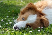 ee red / golden red / australian red BORDER COLLIES