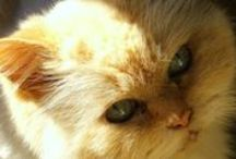 Fire Point Himalayan Cat / My Tinkerbell, rescued from the SPCA