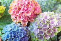 Hydrangea Inspiration / The beauty of Hydgraneas