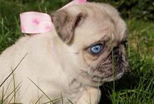 PUG MIXED BREEDS / Pugs mixed with other breeds. Adorable Puppies! / by Bailey Puggins The Pug