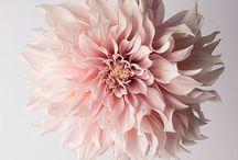 My Dahlias / Flowers