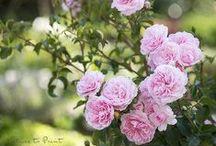 Garten: Rosen / Die Königin der Blumen gibt sich die Ehre, Rosen, Duft Rosendeko, Rosenstrauß, Blüte, Aroma, Rosa, Apricot, Englische Rose, Rosengarten, Rosenbeet, Rosenbegleiter, Strauchrose, Beetrose, Rambler