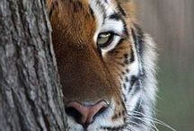 The eye of the tiger... / Les tigres...