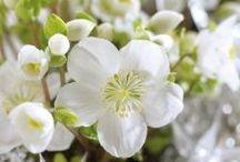 Garten: Lenzrosen / Ob nun Lenz-, Schneerose oder Christrose, die robuste Winterschönheit Helleborus begeistert mit eleganten Blüten von November bis in den April.
