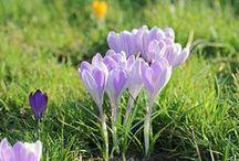 Garten: Was blüht als erstes / Winterblühende Gehölze, Winterlinge, Krokusse, Lenzrosen, Schlüsselblumen – der Vorfrühling steht bereits in den Startlöchern und verzaubert unseren Garten mit den ersten Knospen.
