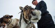 Reindeer in Yamal Arctic