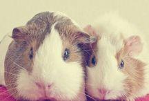 Guinea pigs / Gotta love a guinea pig or three!