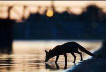 Urban Foxes / Miejskie Lisy