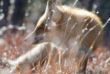 FoxSnaps / LisieKadry