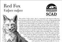 Other Foxiness / Inne Lisiości