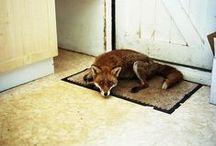 Tamed Foxes / Oswojone  Lisy