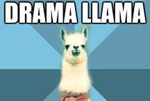 Llamas / Llamas and all their drama.