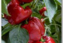 Gardening - herbs & vegies