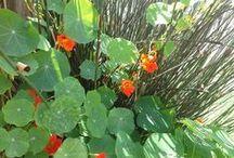 Gardening - herbs & veggies 3