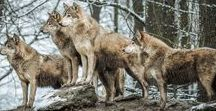 Wolf's pack