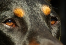 My Dobe / best dog