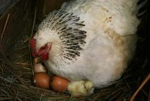 CHICKEN AND EGG WHICH CAME FIRST?  DON'T CARE JUST... / GOD BLESS THE CHICKEN FOR PROVIDING SO MUCH GOOD SUBSTANCE. / by Beverly Cooper