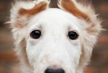 Borzoi / All you need is love, borzoi and harmony..