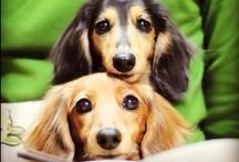 DOG dachshunds