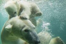 Polar Bear  *  UnDeR WaTeR