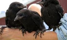 RaVeNS*MaGPieS