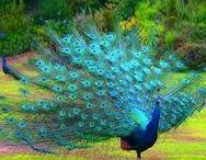 Peacock* Pheasant