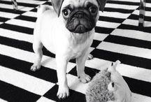 Touko the pug