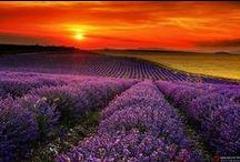 Lavendel, de geur van vakantie
