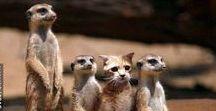 Meerkat or Kat / Meerkat or Kat