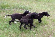 On the Farm / Life on the Farm for NGA Greyhounds.