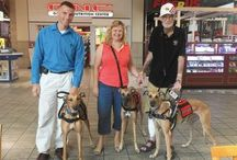 Service & Therapy Dogs / Greyhounds are becoming increasingly popular as service dogs and therapy dogs.