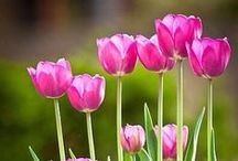 Tulip Garden / Tulips everywhere, gardens and cut flowers for the home.