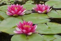 Water Lilies / Amazing Lotus flowers and water lilies.