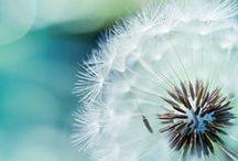 Make a Wish / Dandelions.