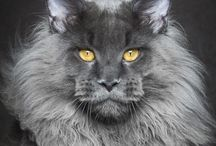 Chats,  Maine coon
