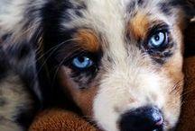 Diesel Athan / My Australian puppy love!