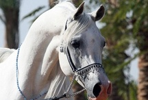 Arabian / This is one of the biggest boards of Arabain Horses  / by Melanie van Maurik