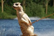 I'm CrAzy cRaZy for meerkats! / by Jillian Hajostek