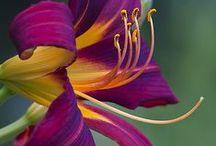Lírios/ Lilies / Lírios