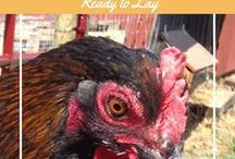 MrAnimal Farm's Chicken Blogs / Find great information we have put together on raising chickens including:  signs your chicken is ready to lay, brooding chicks, incubating eggs, chick health issues and more!