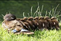 Ducks / Collecting pics of ducks and if your ducks are in a row then you're getting organised for life:0)  Check out our quick, easy Ducks in a Row survey https://www.surveymonkey.com/s/ZKNZNCQ