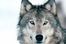vlk ♥ wolf